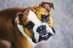 portrait of oscar the bulldog
